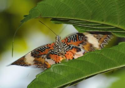 Malay Lacewing (Cethosia hypsea hypsea)