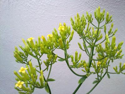 Kalanchoe, Flowers