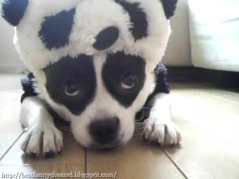 Dog panda..
