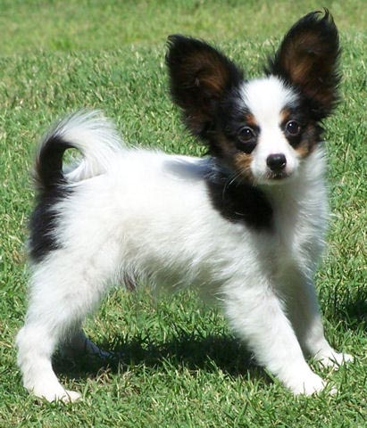 Puppies on Papillon Puppies Pictures And Information