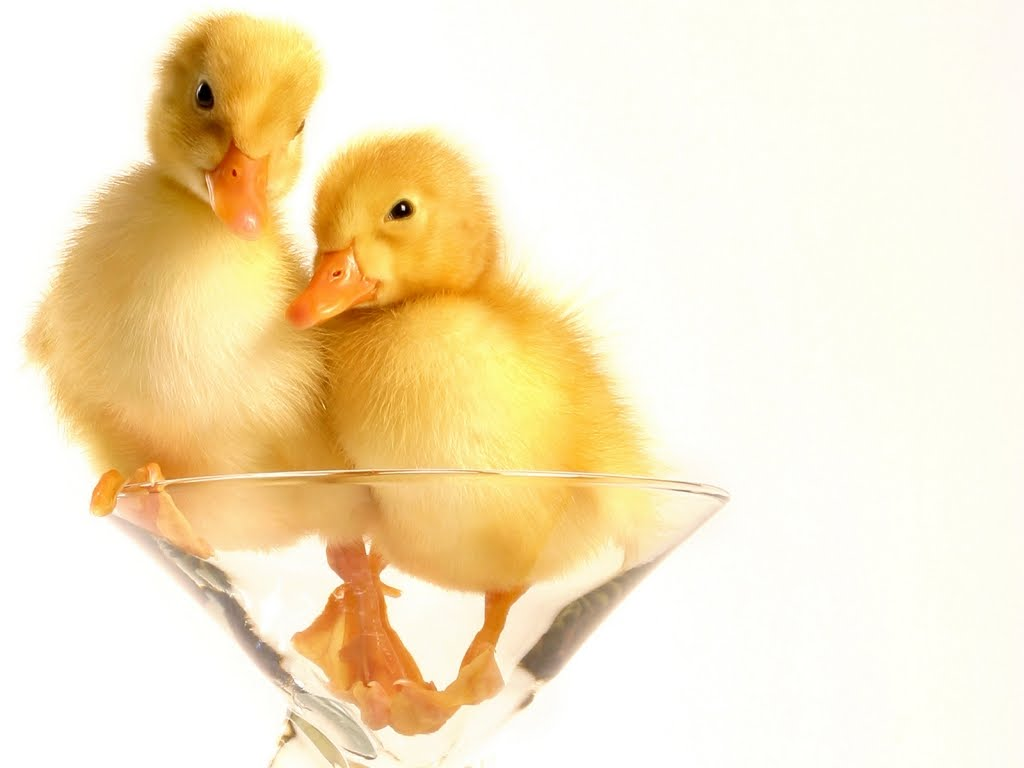 1024 Wallpapers: wallpapers hd: 2 bebés patos en copa