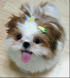 Cute Shih Tzu Pictures