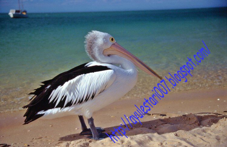 The white pelican is one of the most successful fish-eating birds.