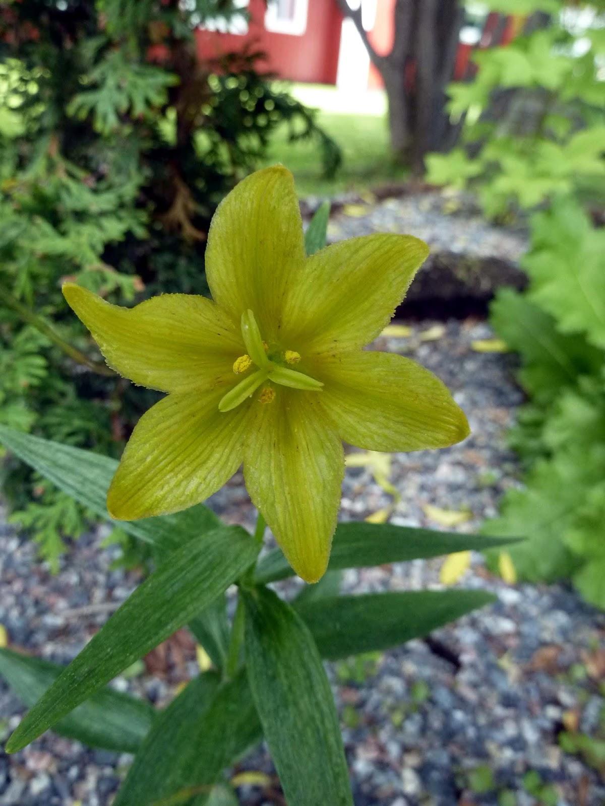 Tankar om och från min trädgård.: juni 2013