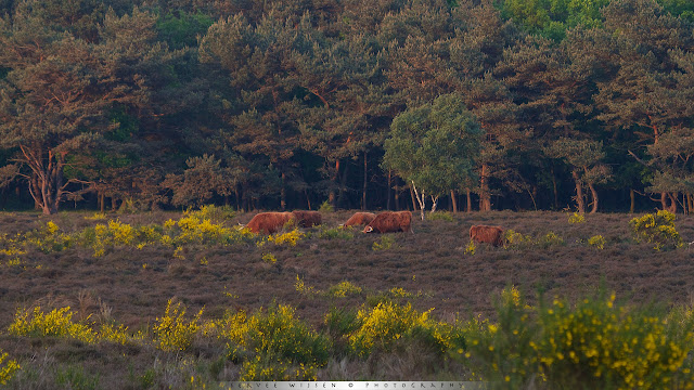 Schotse Hooglanders - Scottisch Highland cattle