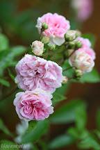 Rose Pink Ghislaine de Féligonde