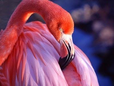 Pink flamingo burung bangau