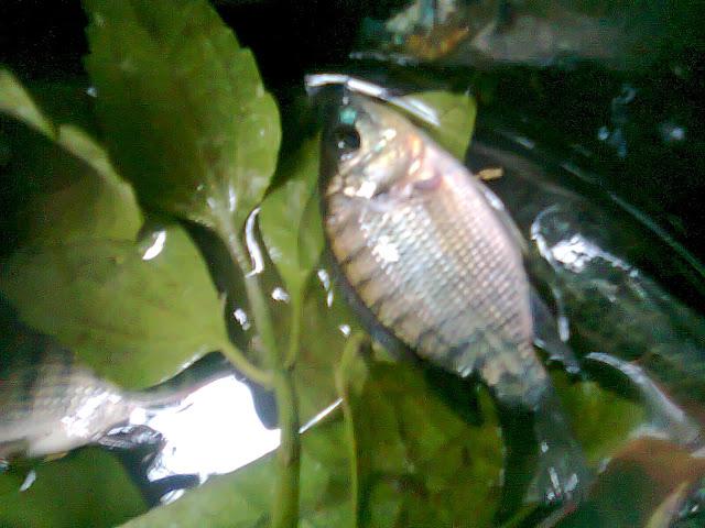 Morfologi Ikan Nila Dari Kolam