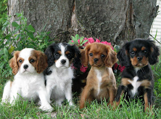 Cute Cavalier King Charles Spaniel Puppies