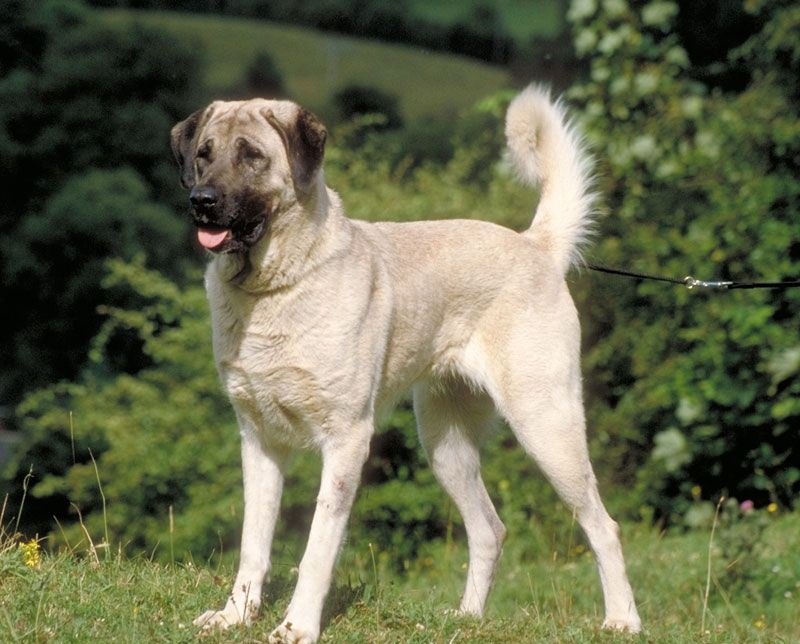 Anatolian Shepherd Dog Dog Facts And Info Dog Breeds Picture