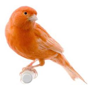 Foto Burung Kenari Lokal Terbaik
