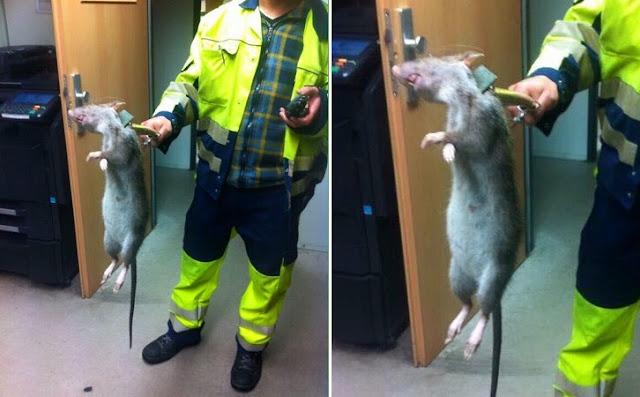 http://asalasah.blogspot.com/2015/07/heboh-penemuan-tikus-monster-sebesar.html