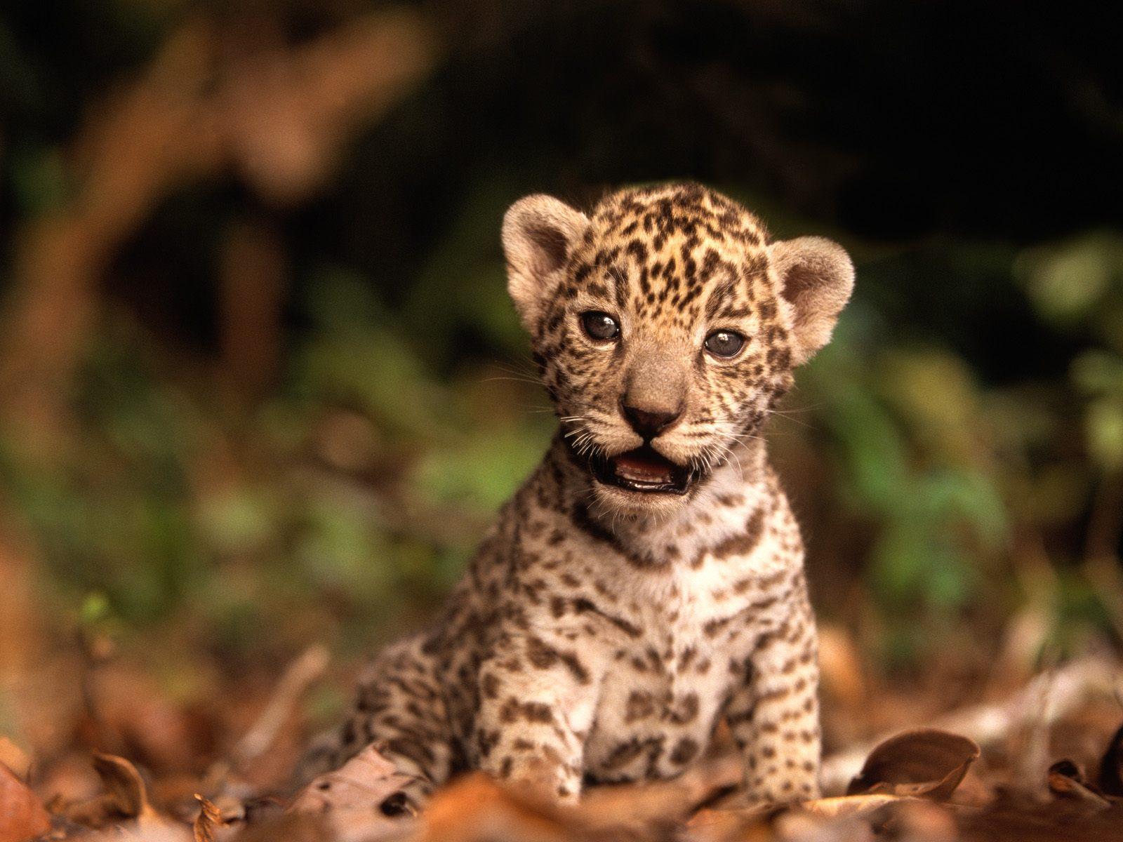Beautiful Wallpapers: baby cheetah wallpaper