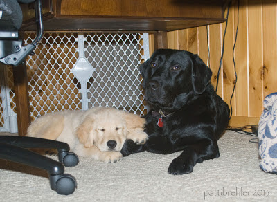 A golden retriver puppy is asleep next to a bigger black Lab. The Lab is lying down on the left side under a brown desk, with his head up looking at the camera. The puppy is to the left and has his eyes closed with his left paw resting on the Lab's right leg. Just to the left is a black desk chair on rollers. To the right is the edge of a blue and white dog bed.