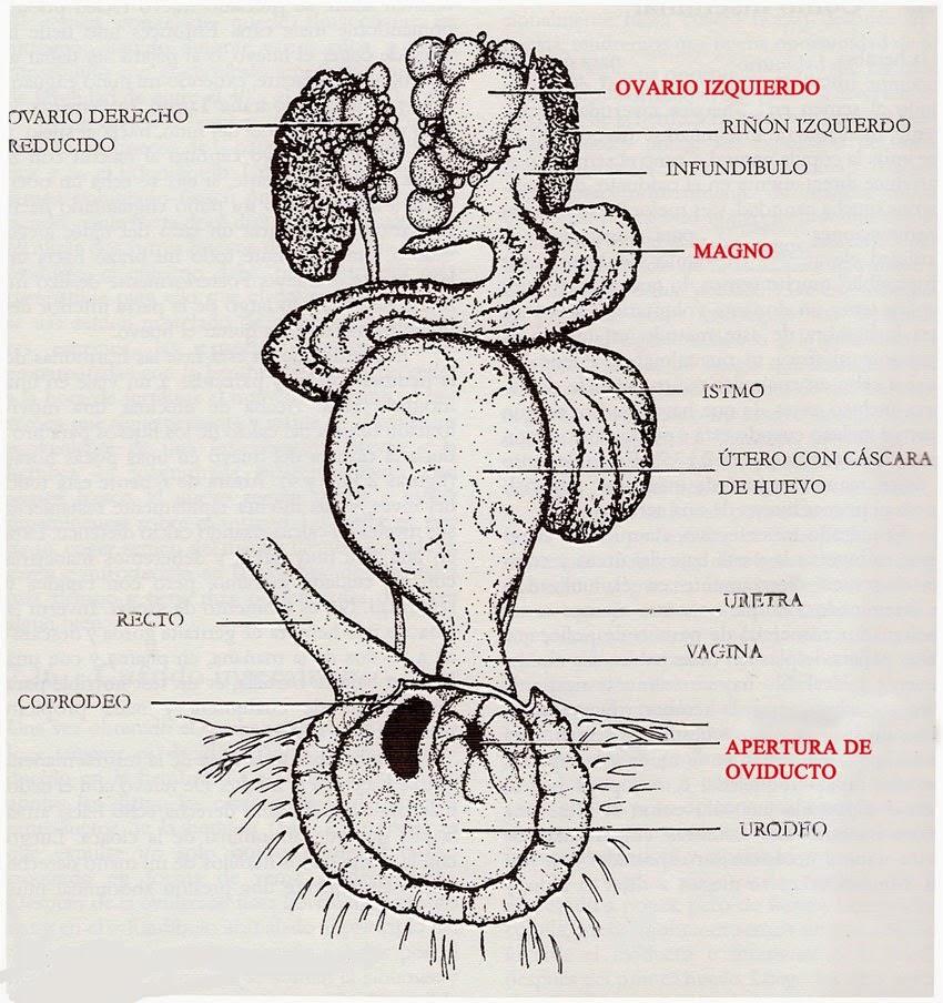 Agapornis Rebandaka: Puesta e incubación