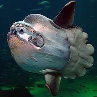 pez luna - Mola mola
