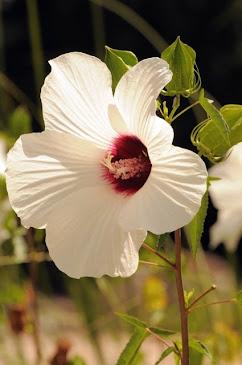 Hibiscus laevis 002