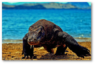 Komodo island indonesia, pulau komodo ntt, pantai pink pulau komodo