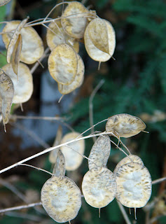 Money Plant Dry with Visible Seeds