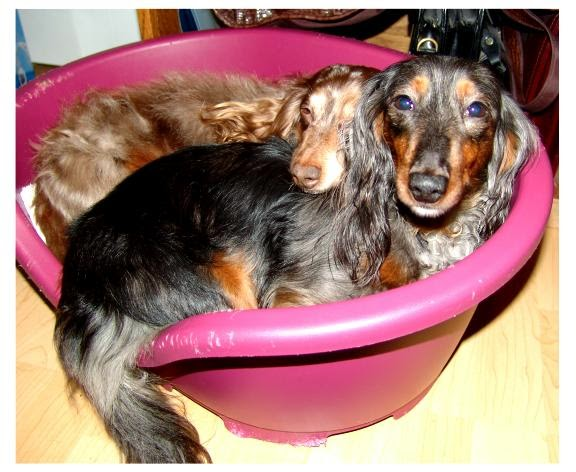 @BatteredHope Rescue Dachshunds from abuse and neglect