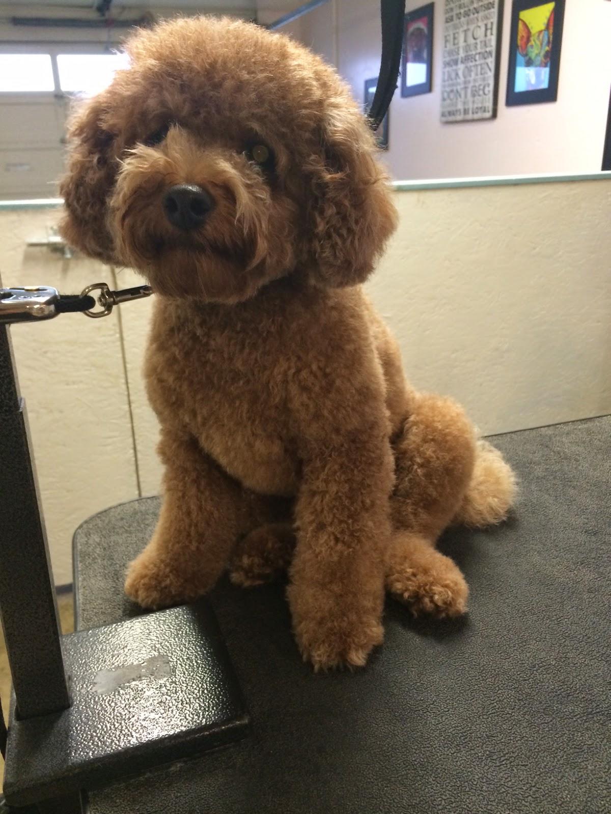Virginia Ho San Francisco Professional Pet Grooming Koo Toy Poodle