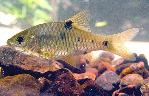 Spotted barb fish (photo: http://www.seriouslyfish.com/species/puntius ...