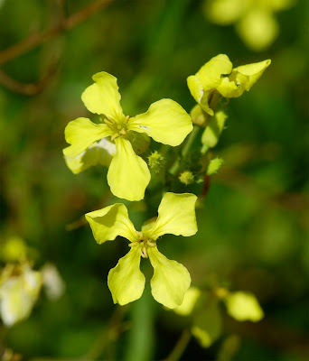 Sea Radish Raphanus raphanistrum maritimus yellow flowers