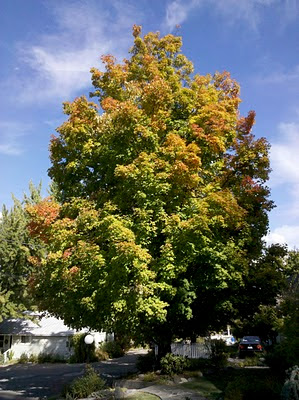 The Judge Thieler Sugar Maple on the corner of Lee Way and West High St.