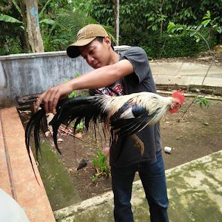 Jual ayam ekor panjang jenis phoenix bursa unggas hias
