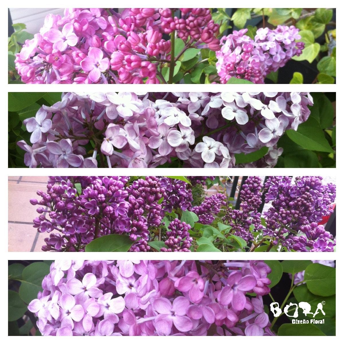 lilas jardín