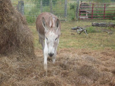 Cream Colored Donkey by Hay on farm in Kansas