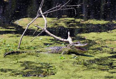 American Alligator 7