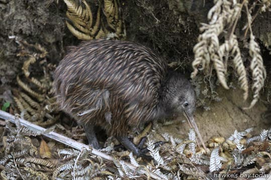 """Release of the newly-named """"Tanekaha"""" (strong man) the 200th kiwi released at Maungataniwha Native Forest, Northern Hawke's Bay, a Tasti Facebook promotion themed around Kiwis who have """"flown the nest."""" Tanekaha was named by Lynda Holswich, Auckland, the competition winner. Her son Aaron Holswich, now living in Perth, Australia, was a surprise guest. photograph"""
