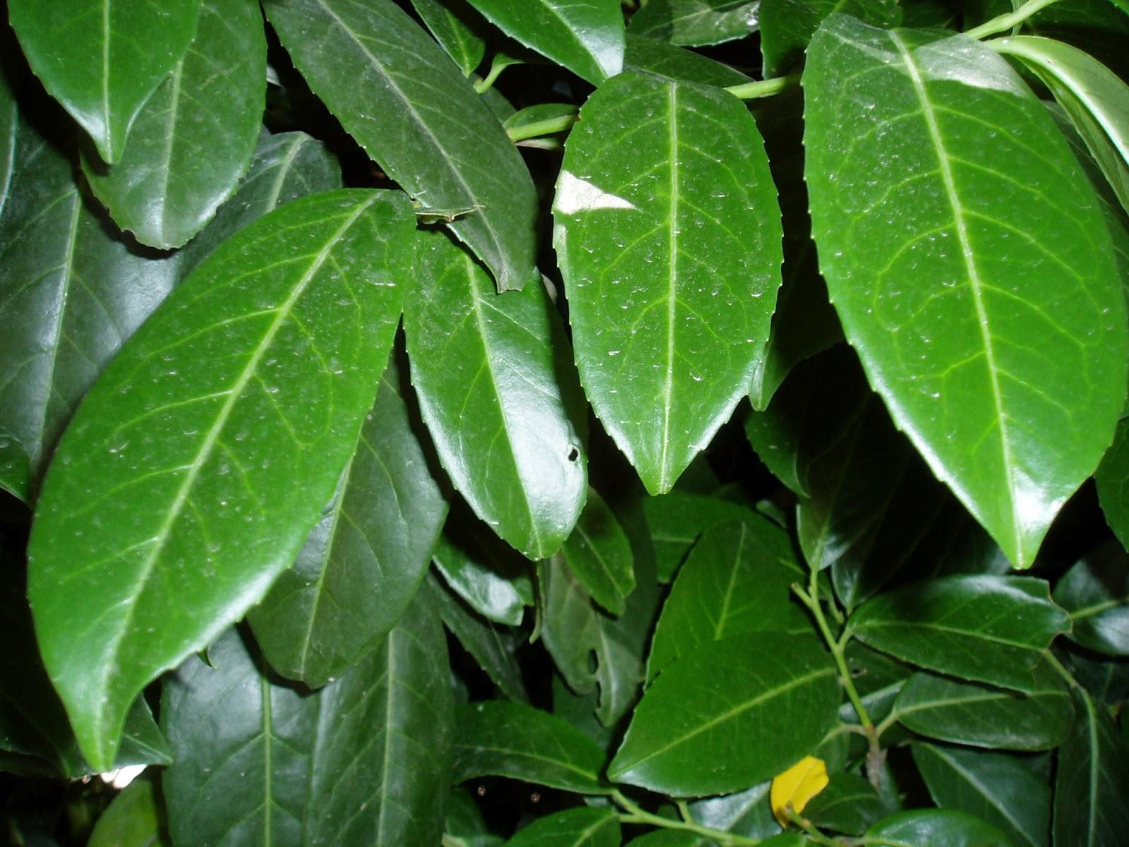 Laurel cerezo prunus laurocerasus plantas riomoros for Tipos de hojas ornamentales