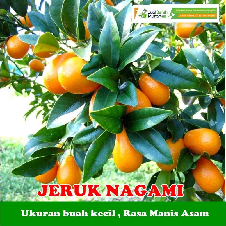 Jeruk Nagami