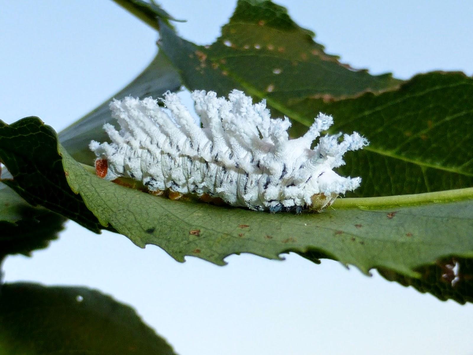 Archaeoattacus edwardsii caterpillar