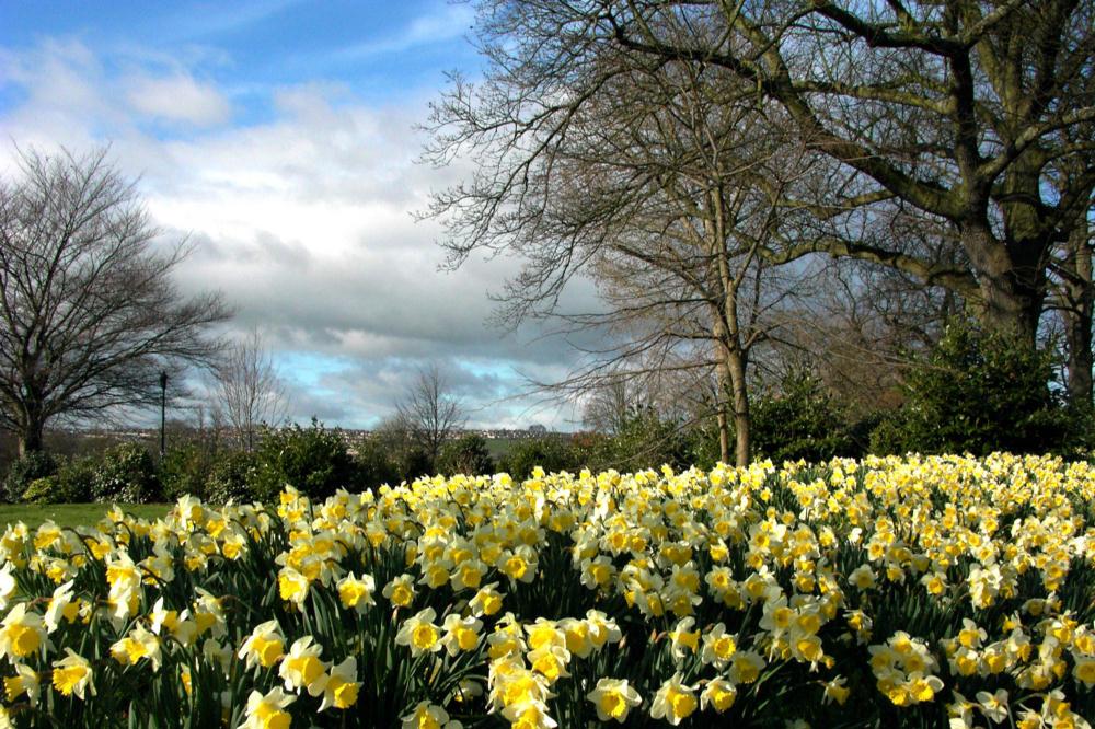 essay on daffodils by william wordsworth