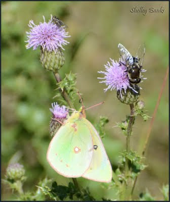 Butterfly on thistle flower - photo by Shelley Banks
