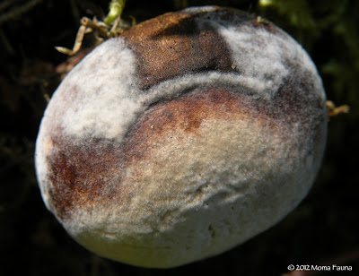 Fungi on fungi: A mushroom cap with fungal growth.
