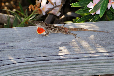 Male Brown Anole showing his frill.