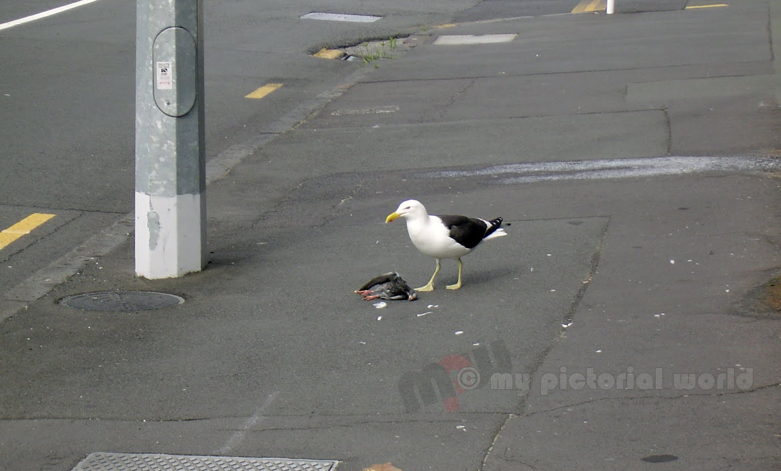 Seagull Attacking A Pigeon