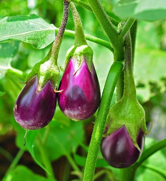 Solanum Melongena (Eggplant)
