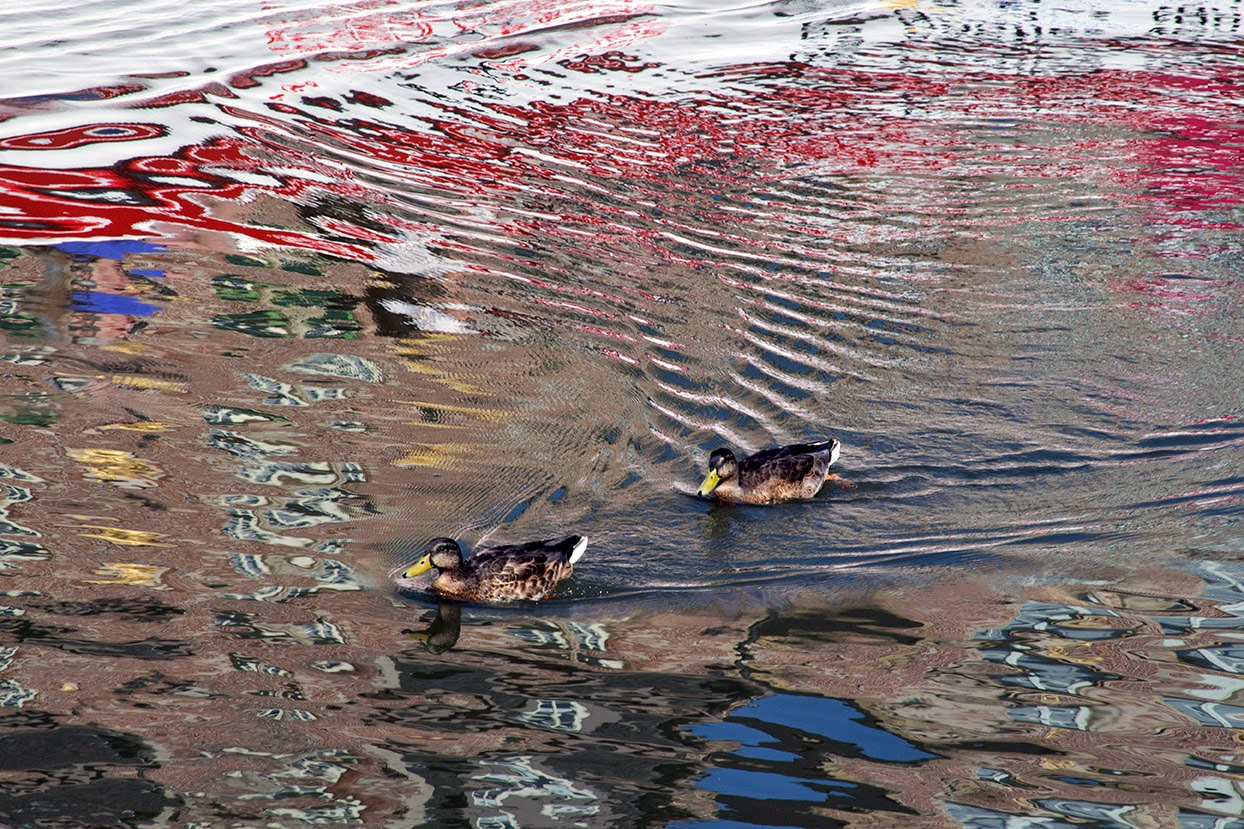 reflection of ducks in the river