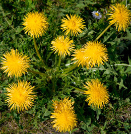 fresh dandelions for teas and salads
