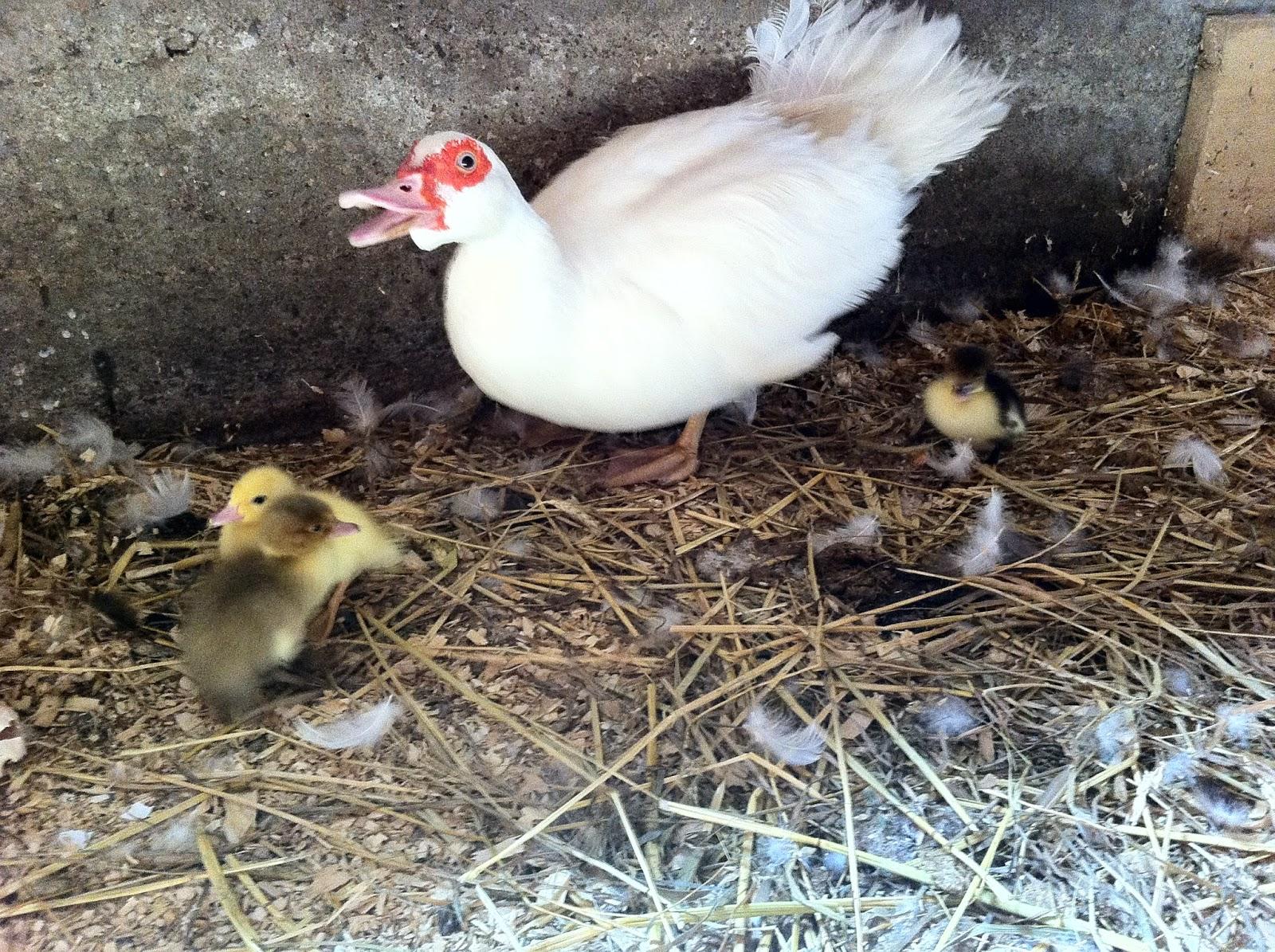 moma duck