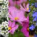 Lobelia flowers images.
