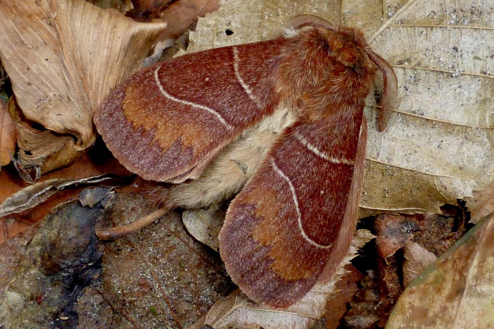 Dicogaster coronada male