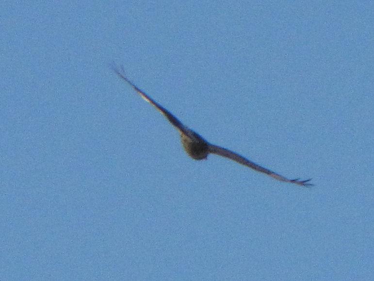 rough-legged hawk, gray phase