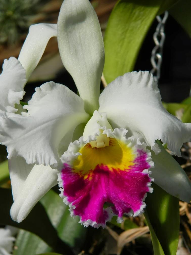 Cattleya labiata semi-alba Allan Gardens Conservatory 2014 Spring Flower Show by garden muses-not another Toronto gardening blog