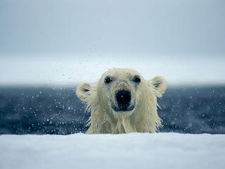 Foto Beruang Kutub Keluar dari Air